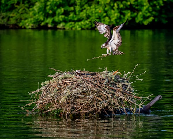 Osprey flares photography print
