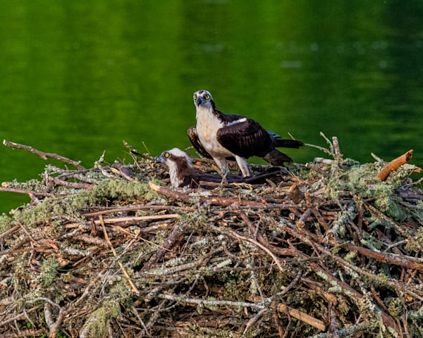 Osprey pair photography print