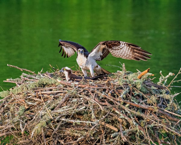 Watchful Osprey photography print