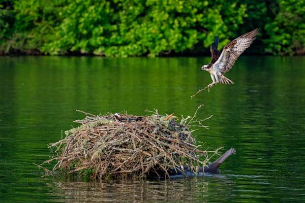 Landing osprey photography print