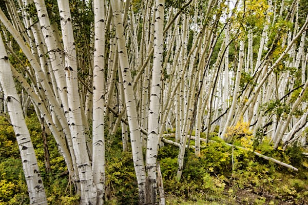 Telluride Bent Aspen Mountain Photograph 6432 | Colorado Photography | Koral Martin Fine Art Photography