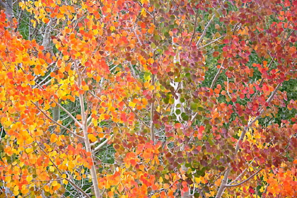 """Aspen Hues II"" Aspen Leaves Photograph Telluride 6323 