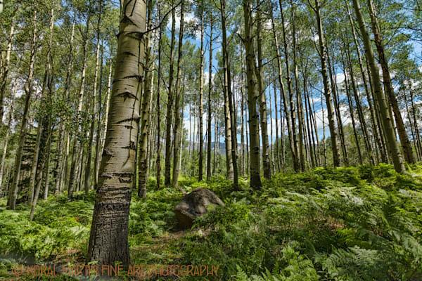 Aspen Among Fern Photograph 3890 | Colorado Photography | Koral Martin Fine Art Photography