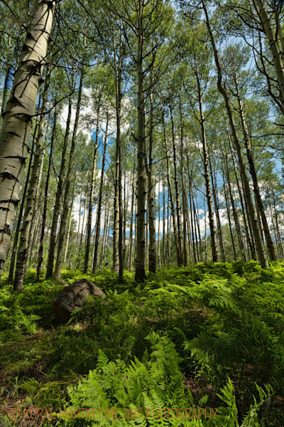 Aspen Among Fern Photograph 3900 | Colorado Photography | Koral Martin Fine Art Photography