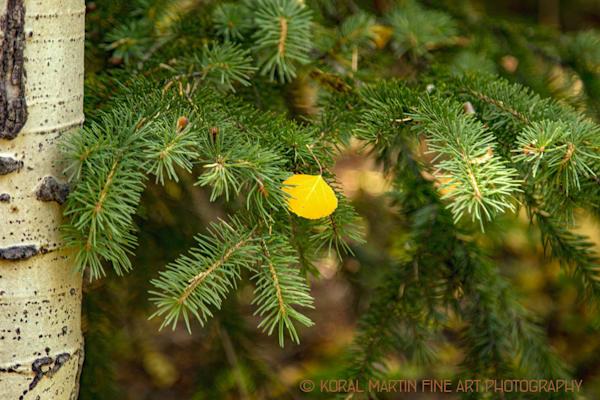 Aspen Leaf on Evergreen7384 BPT Photograph | Colorado  Photography |  Koral Martin Fine Art Photography
