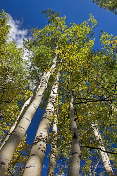 Aspen at Woods Lake Photograph 8911 | Colorado Photography | Koral Martin Fine Art Photography