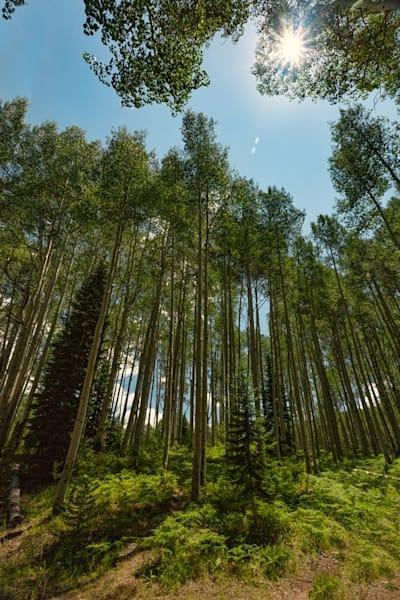 Aspen with Sunburst Photograph 3853 | Colorado Photography | Koral Martin Fine Art Photography