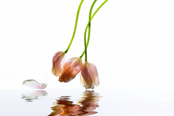 french tulips hanging over reflective water     Brad Oliphant