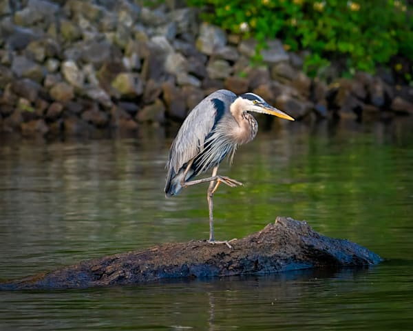 Great blue heron on the prowl photography print