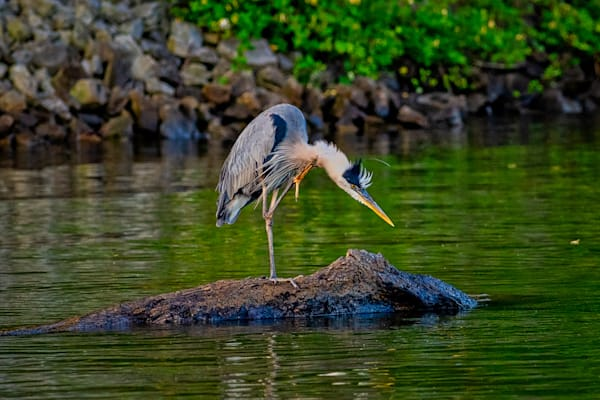 Great blue heron scratching photography print