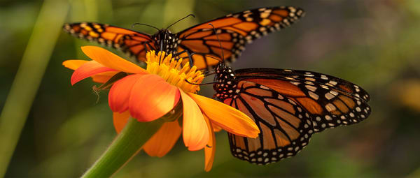 Monarch Butterfly On Zinnia Photograph 6239 Panorama | Butterfly Photography | Koral Martin Fine Art Photography