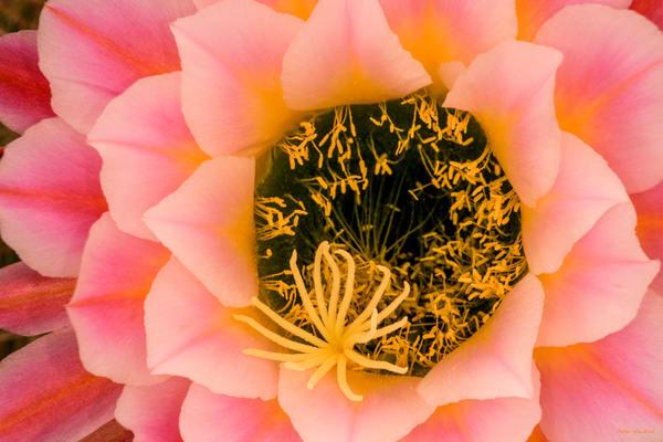 DP431 Pink Flower