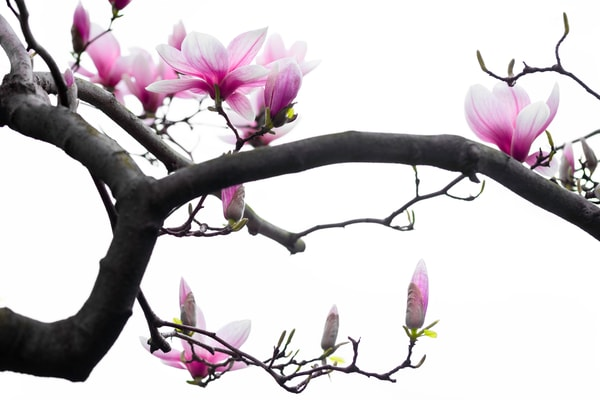 Japanese Art of Magnolias,