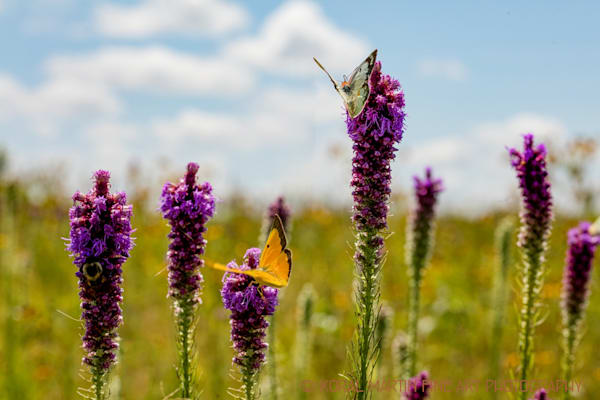 Butterflies on Liatris Photograph 2024 | Butterfly Photography | Koral Martin Fine Art Photography