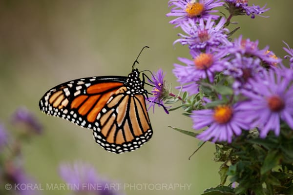 Monarch Butterfly on Aster Photograph 173281 | Butterfly Photography | Koral Martin Fine Art Photography