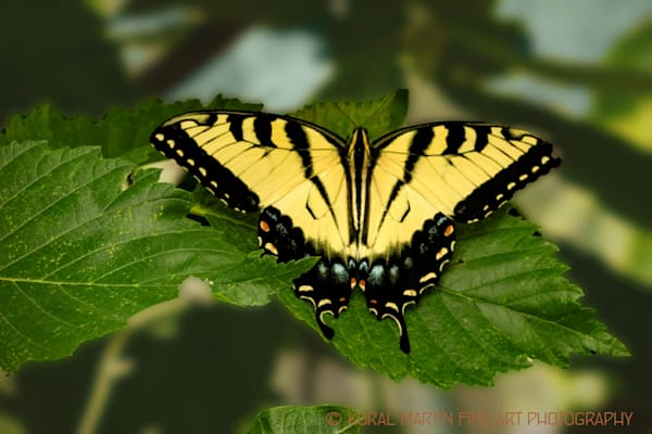 Eastern Tiger Swallowtail Butterfly 4365   Butterfly Photography   Koral Martin Fine Art Photography