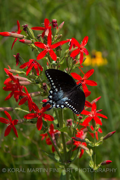 Swallowtail Butterfly on Cardinal Flower Photograph 7261 | Butterfly Photography | Koral Martin Fine Art Photography