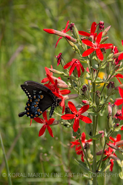 Swallowtail Butterfly on Cardinal Flower Photograph 7268 C | Butterfly Photography | Koral Martin Fine Art Photography