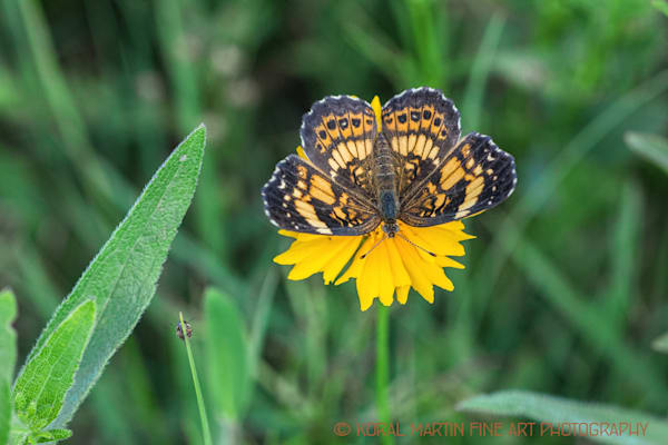 Silvery Checkerspot Butterfly on Coreopsis Photograph 0106 | Butterfly Photography | Koral Martin Fine Art Photography