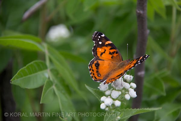 Butterfly on white_1791 | Butterfly Photography | Koral Martin Fine Art Photography