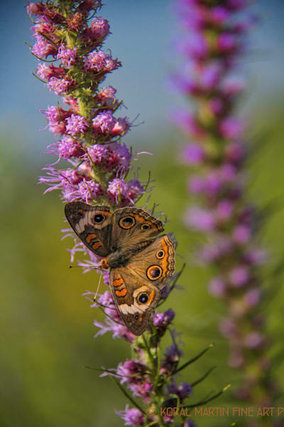 Butterfly on Liatris Photograph 6633 | Butterfly Photography | Koral Martin Fine Art Photography