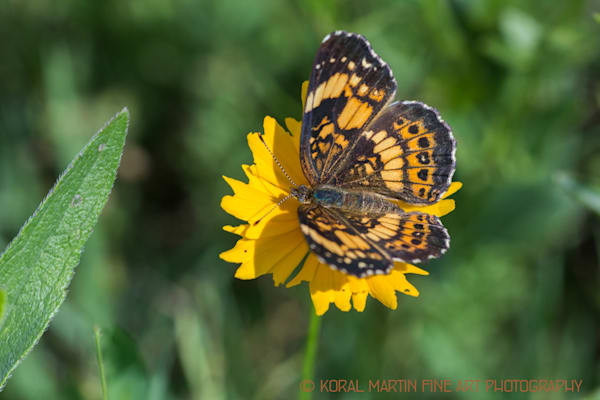 butterfly coreopsis prairie mo woods IM Photograph 0111 SV  | Butterfly Photography | Koral Martin Fine Art Photography