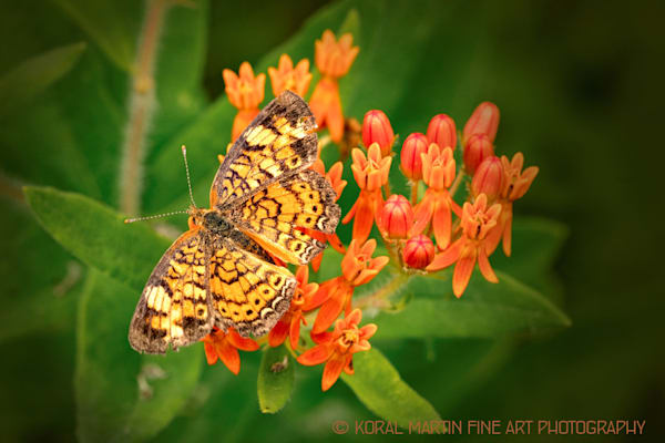butterfly o nmilkweed 0015   Photograph | Butterfly  Photography |  Koral Martin Fine Art Photography