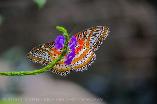 Tropical Butterfly | Butterfly Photography | Koral Martin Fine Art Photography