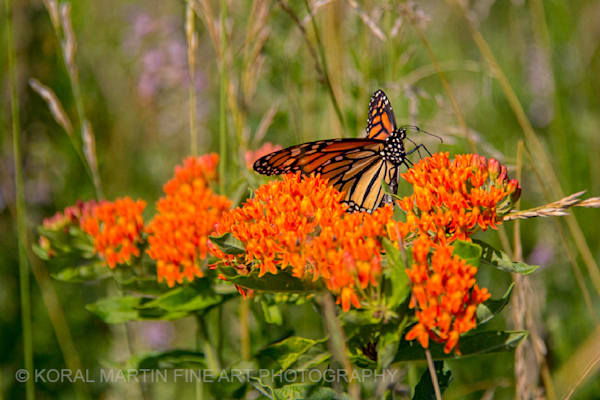 Monarch Butterfly On Butterfly Milkweed Photograph 5146 | Butterfly Photography | Koral Martin Fine Art Photography
