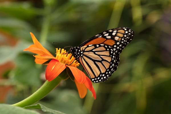 monarch butterfly on zinnia Photograph 6249 SBG18 | Butterfly Photography | Koral Martin Fine Art Photography