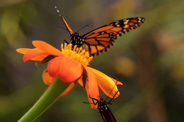 Monarch butterfly on zinnia Photograph 6234 | Butterfly Photography | Koral Martin Fine Art Photography