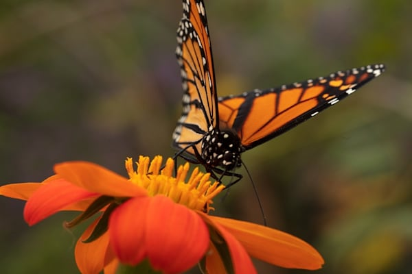 monarch butterfly on zinnia Photograph 6258 SBG18 | Butterfly Photography | Koral Martin Fine Art Photography