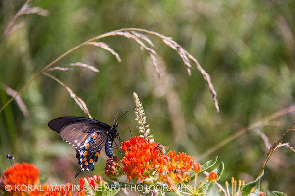 Monarch on Milkweed Photograph 5258 | Butterfly Photography | Koral Martin Fine Art Photography