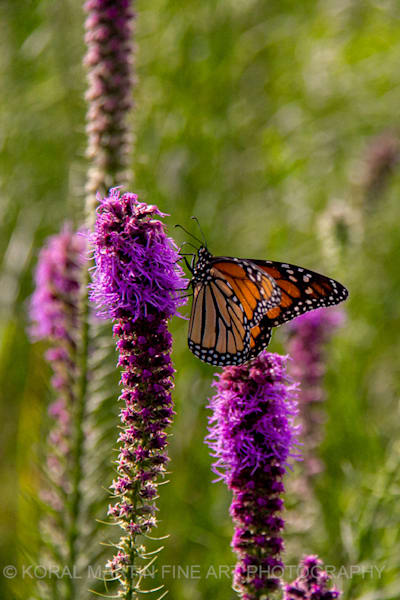 Monarch Butterfly on Liatris Photograph 6179 | Butterfly Photography | Koral Martin Fine Art Photography
