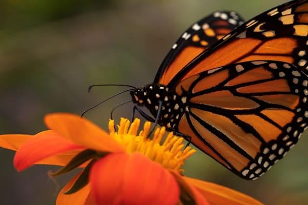 Monarch butterfly on zinnia Photograph 6261 | Butterfly Photography | Koral Martin Fine Art Photography