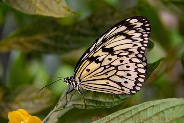 Black and White butterfly on leaves Photograph 3821    Butterfly Photography   Koral Martin Fine Art Photography