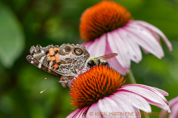 Butterfly and Bumble bee on Coneflower Photograph 9529 | Butterfly Photography | Koral Martin Fine Art Photography