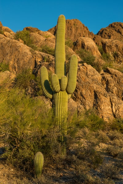 DP498 Cat Mountain Saguaro