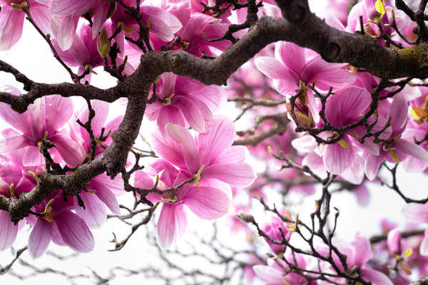 japanese art using magnolia blossoms