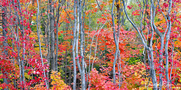 Autumn Blaze   Panoramic Photography Art | David Beavis Fine Art