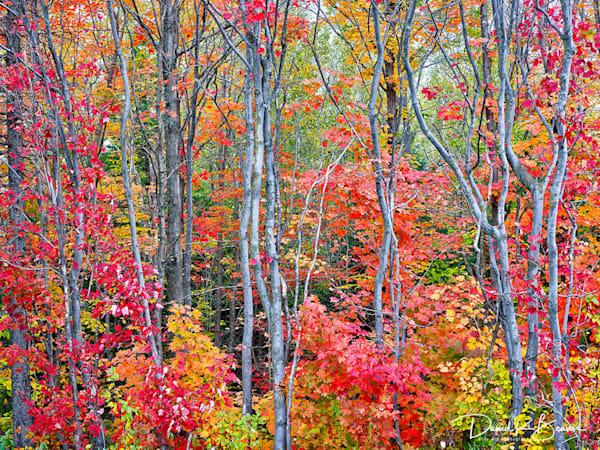 Autumn Blaze - Standard
