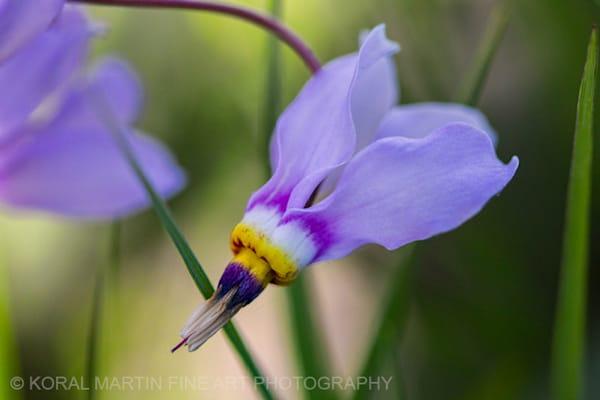 Shooting stars Photograph 0827  | Wildflower Photography | Koral Martin Fine Art Photography