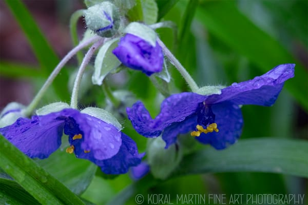 Spiderwort   Photograph 7252 | Wildflower Photography | Koral Martin Fine Art Photography