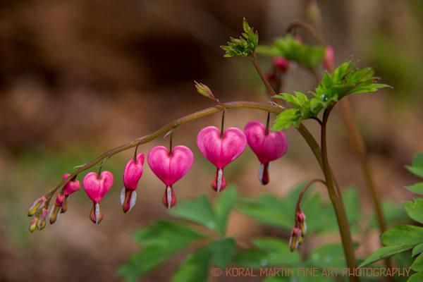 Bleeding Heart with Raindrops Photograph 9172   Crystal bridges    Wildflower Photography   Koral Martin Fine Art Photography