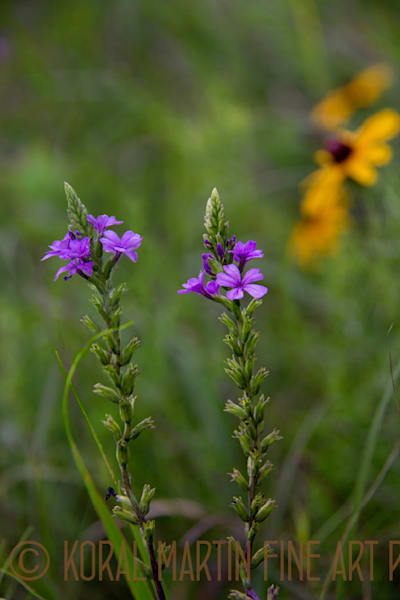Blue Vervain Photograph  5718 | Wildflower Photography | Koral Martin Fine Art Photography