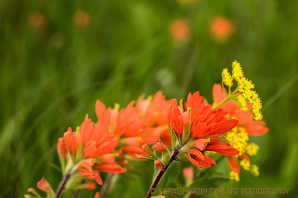 Blowing Indian Paintbrush Photograph 7847  | Wildflower Photography | Koral Martin Fine Art Photography