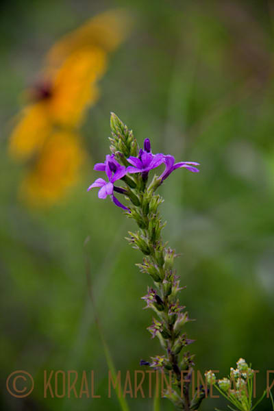 Blue Vervain 5720   Photograph | Wildflower  Photography |  Koral Martin Fine Art Photography