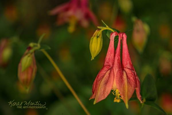 Columbine Photograph 9240 | Wildflower  Photography |  Koral Martin Fine Art Photography