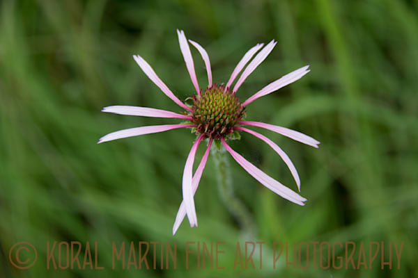 Coneflower  Photograph 5796  | Wildflower Photography | Koral Martin Fine Art Photography
