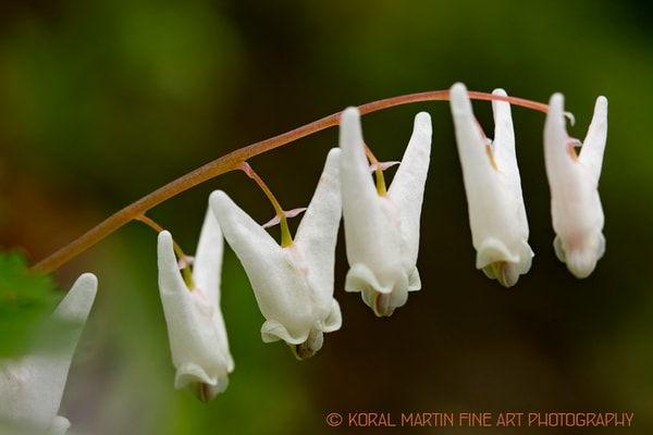 Dutchman Breeches Wildflower  Photograph 7798 | Wildflower Photography | Koral Martin Fine Art Photography